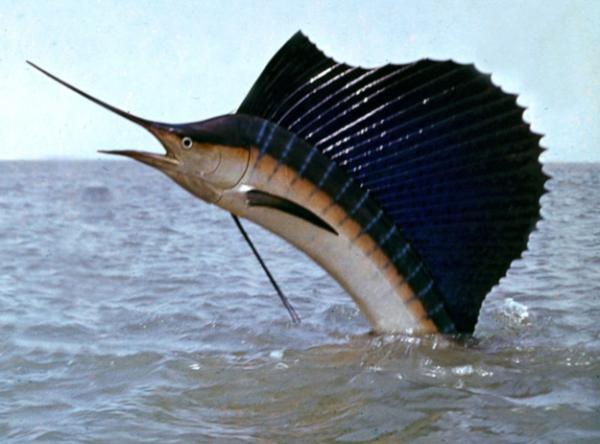 riba-parusnik