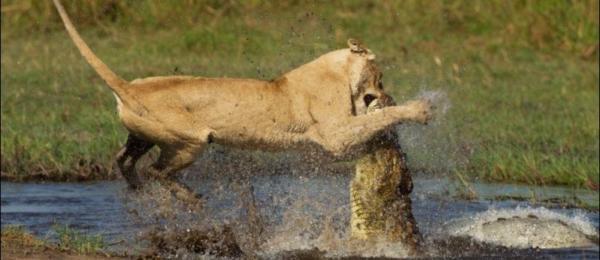 krokodil-chischnik