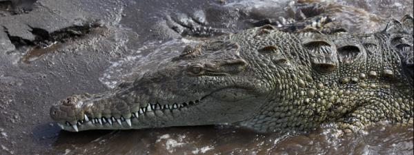 krokodil-w-okeane