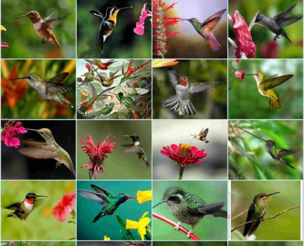 opilenie rastenii kolibri
