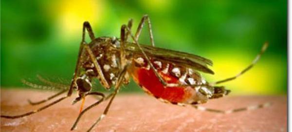 perenoschik-zapadnogo-nilskogo-virusa