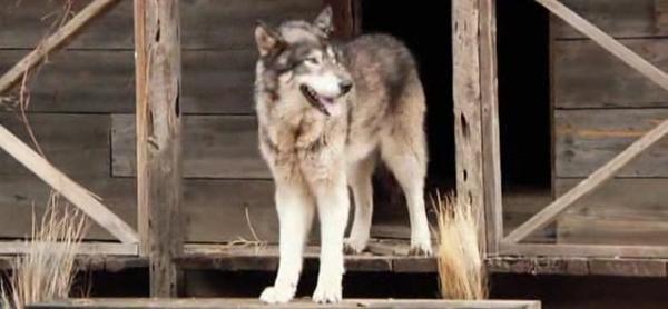 volk-v-gorode