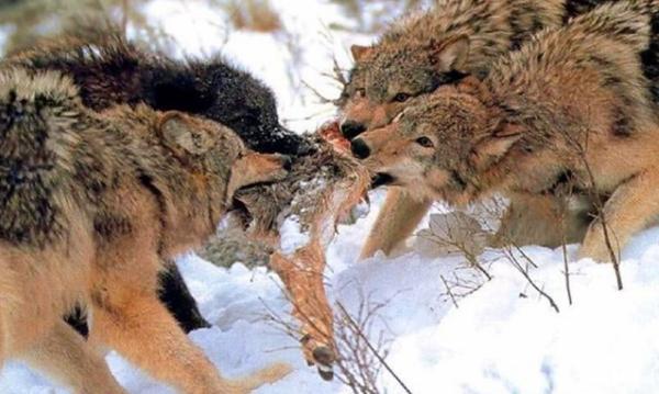 volki-i-dobicha