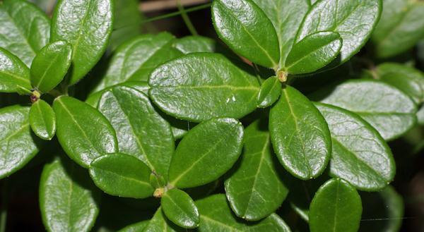 listja-brusniki