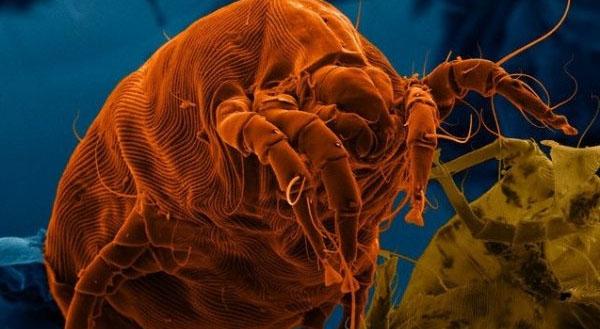 piliwoi-klezch-pod-mikroskopom