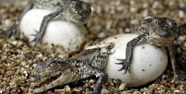rozdenie-krokodiljat