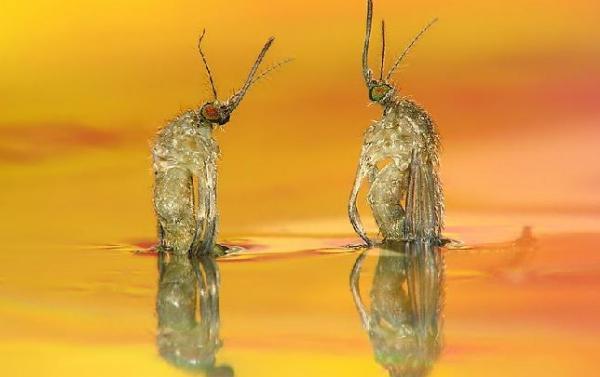 roxchdenie-vzroslich-komarov