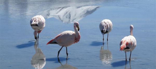 flamingo-na-ozere-laguna-verde