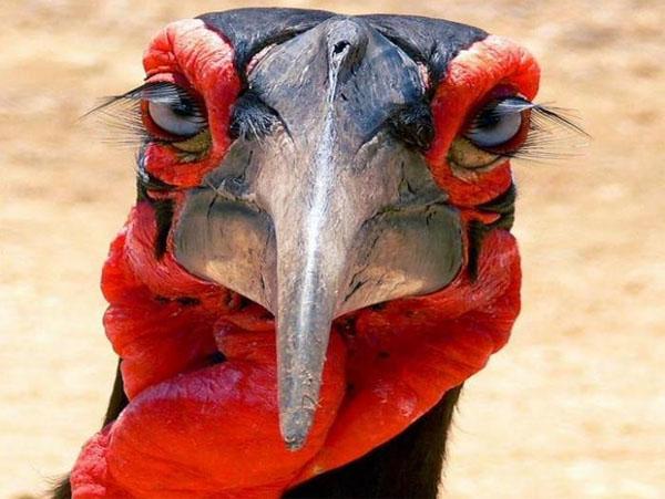 karfskii-rogatii-voron