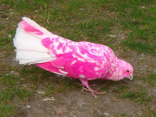 rozovii-golub-ostrov-mavricii