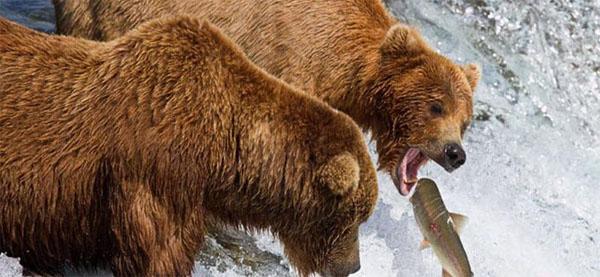 grizli-ochota-na-lososja