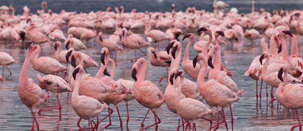 rozovii-flamingo-stai