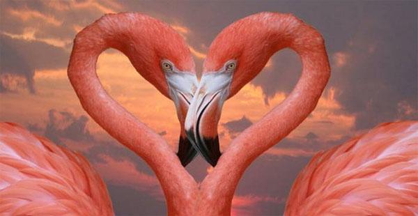 rozovii-flamingo