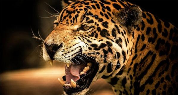 tigr-v-jarosti