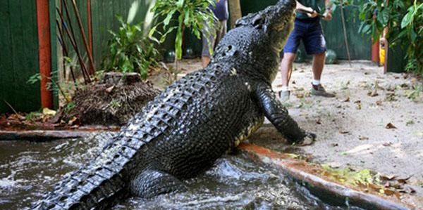 krokodil-kassius-klei