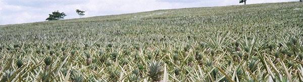 ananasnoe-pole