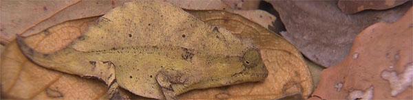 chameleon-labordi