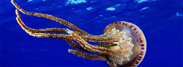 meduzi