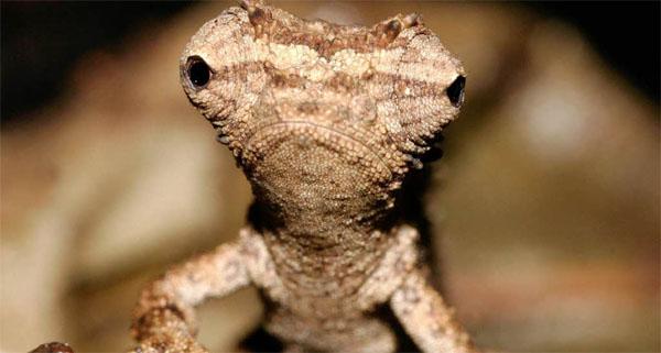 chameleon-samii-malencii-v-mirejpg