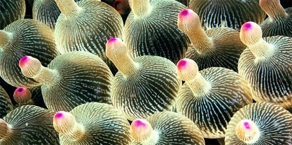 actinii-anemoni
