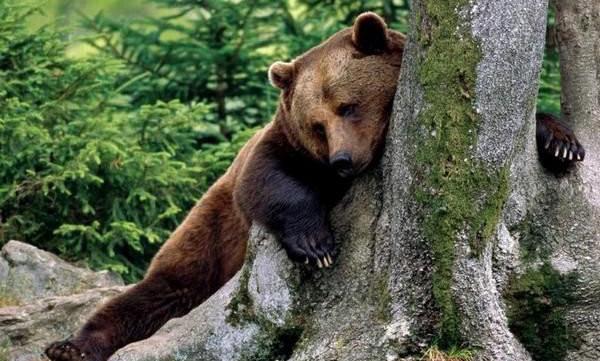 Пьяный медведь